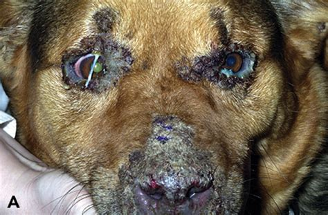 blepharitis in dogs observations in ophthalmology clinical approach to canine eyelid disease blepharitis