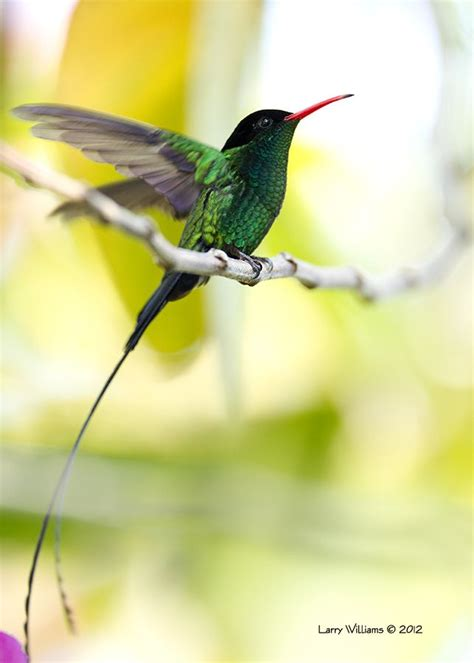 jamaican hummingbird tattoo expression pinterest jamaican hummingbird 169 2013 larry williams tattoo