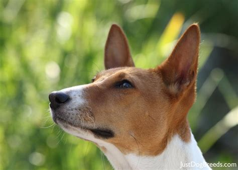 basenji dogs pictures hypoallergenic dogs breeds picture