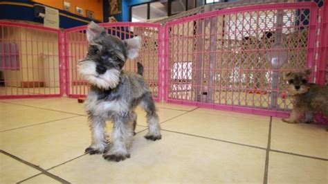 miniature schnauzer puppies for sale in ga affectionate salt pepper miniature schnauzer puppies for sale at puppies