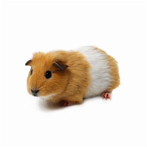 Soft Unformed Stools Causes by What Can Cause Diarrhea In A Guinea Pig Animals Me