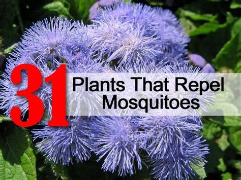 plants to keep mosquitoes away 31 plants that repel mosquitoes i have basil lemon balm