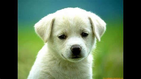 imagenes de perritos imagenes de cachorros tiernos youtube