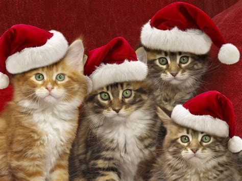 wallpaper cats christmas cute cats hd wallpapers pictures images