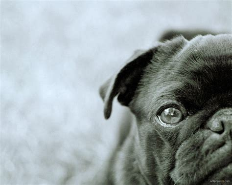 black pug wallpaper black pug wallpapers wallpaper cave