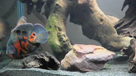 Aquascape Wood Oscar Fish In 500 Litre Aquarium Youtube