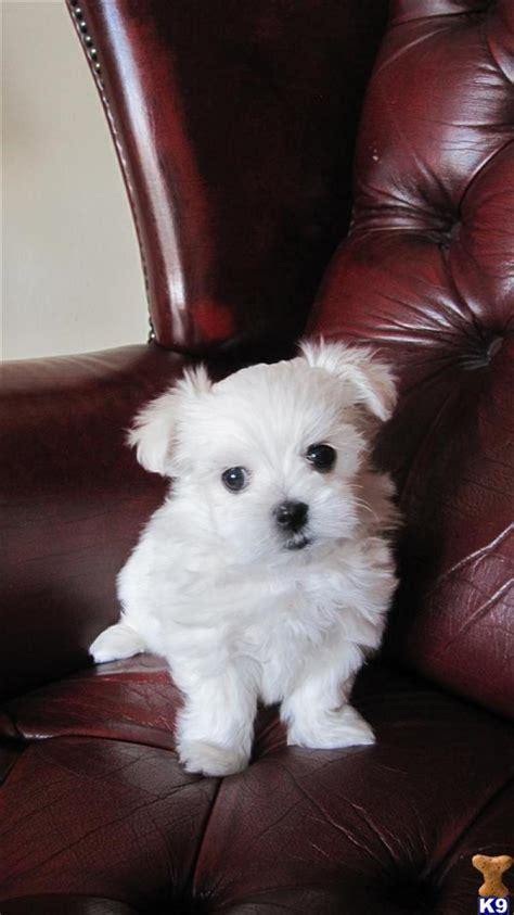 maltese puppies price maltese price in india maltese puppy for sale in bangalore india breeds picture