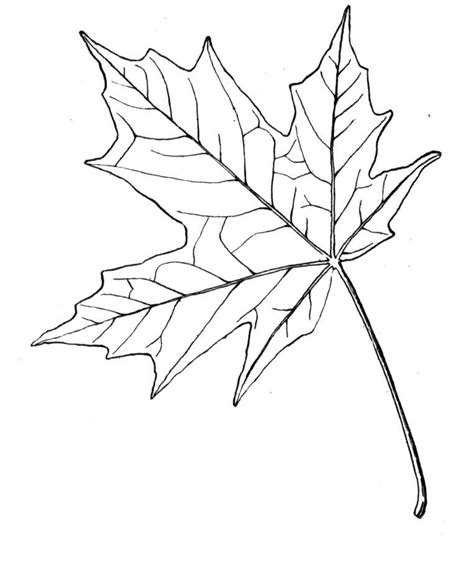 coloring page of a maple leaf maple leaf coloring page coloring home