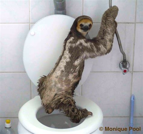 sloth going to the bathroom extraordinatory photos and story of potty trained sloth