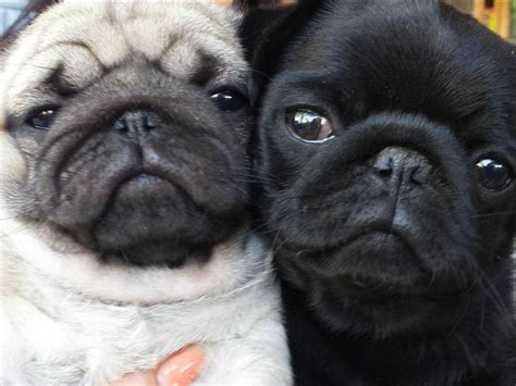 pugs on pugs on pugs pug on pug baby pugs and pug puppies
