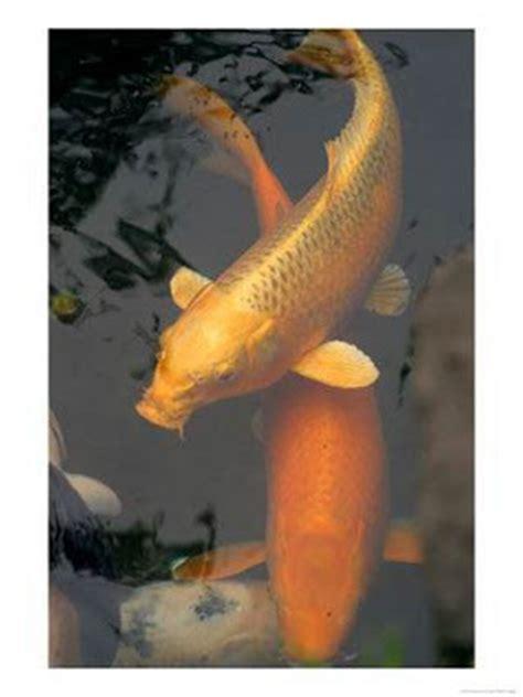 ramuan membuat umpan ikan mas cara pembuatan umpan untuk ikan mas dianacakes