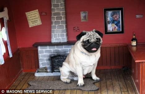 the dog house pub pictured mozart the pug who lives in his very own pie
