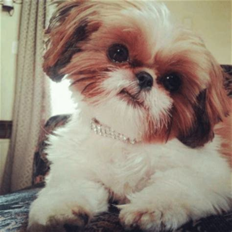 shih tzu teeth cleaning 9 care tips to before looking for shih tzu puppies for sale