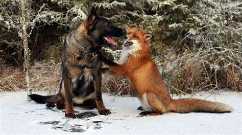 fuchs und hund eine ungewoehnliche tierfreundschaft