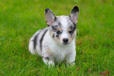 cowboy corgi puppy puppies currently available breeds picture