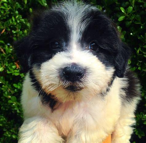 maltese shih tzu breeders nsw maltese x shih tzu cottage canines australia