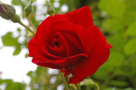 fiore rosa foto gratis rosa rossa rosa fiore fiore rosa