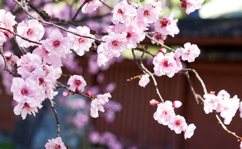 bunnings cherry blossom japanese cherry blossom burke s backyard