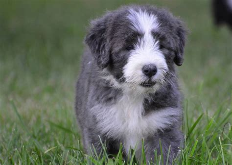 bearded collie puppy bearded collie puppies chetcote
