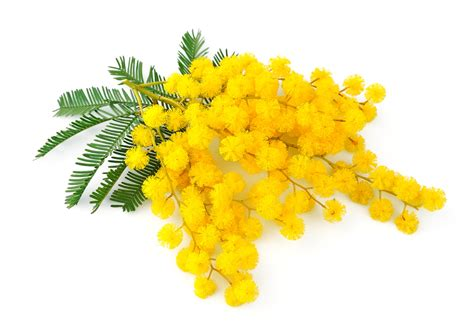 foto mimosa fiore mimosa fiore delle donne