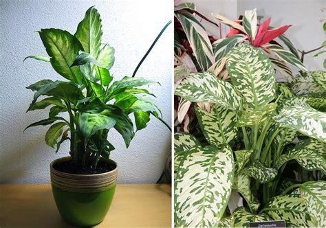 imagenes de plantas verdes de interior plantas de interior dieffenbachias images frompo