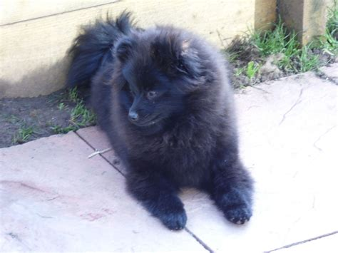 pomeranian black puppies beautiful black pomeranian puppy cheltenham gloucestershire pets4homes