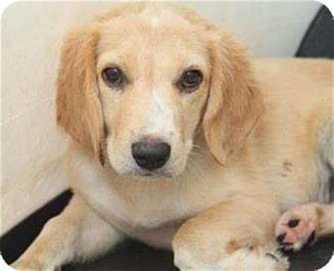 golden retriever rescue ny 17 best images about adoptable golden retrievers on theater adoption and