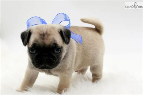 pug breeders in oklahoma wilbur pug puppy for sale near oklahoma city oklahoma 85e71d33 9ed1