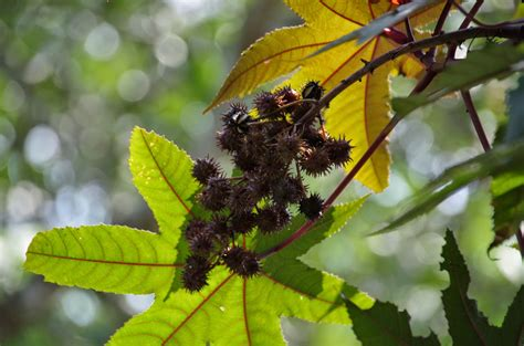 Minyak Jarak trees and plants castor jarak minyak