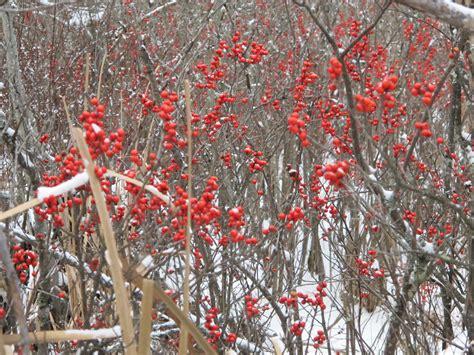 white winter berry branch tree winterberry henry homeyer