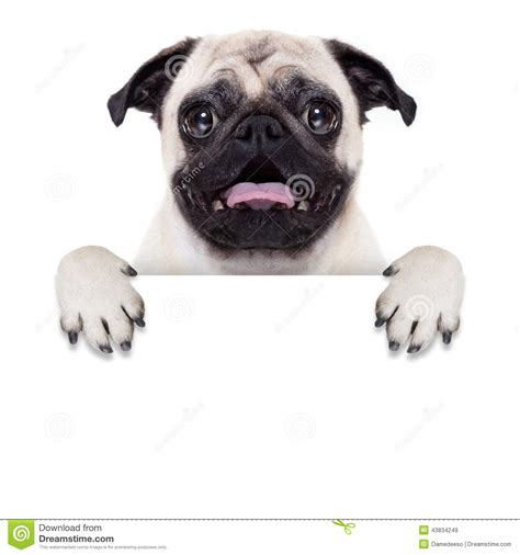 surprised pug placard banner stock photo image 43834249