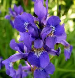file iris plant jpg wikipedia