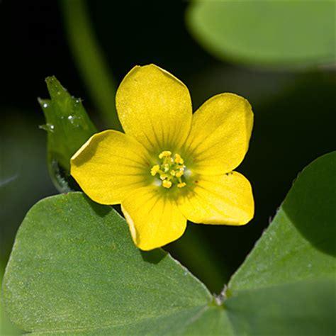 bloemen herkennen aan blad stijve klaverzuring oxalis stricta gele wilde bloemen