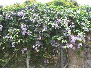 file thunbergia grandiflora 4 jpg wikimedia commons