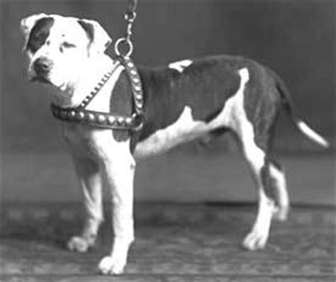 colby pitbull puppies colby pit bull history of a fighting bred in 1889