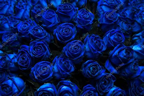 image of blue blue roses stock photo 169 intendo48 53675695