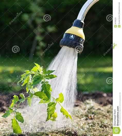 Best Time To Water Vegetable Garden by Watering Seedling Tomato Stock Photo Image Of Water