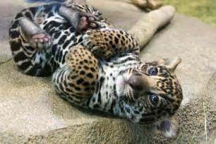 Pics Of Baby Jaguars Wallpaper Of Jaguar Awesome Wallpapers