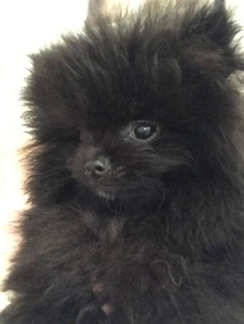 black pomeranian puppies for adoption top quality black pomeranian puppy for sale adoption from melbourne
