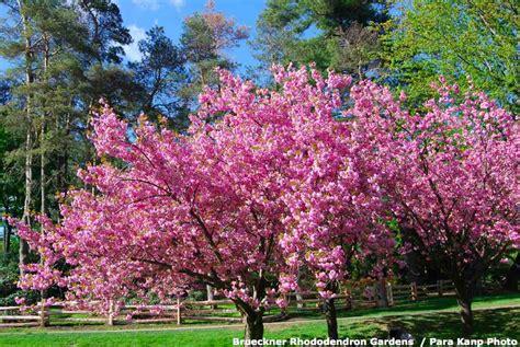 brueckner rhododendron gardens rhododendron gardens tour