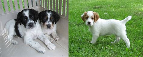 llewellin setter puppies for sale houdini llewellin setters bird dogs for sale