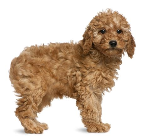 pictures of different types of poodles different kinds of dogs with their names clinic types and