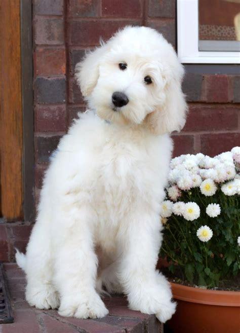 goldendoodle puppy temperament best 25 standard goldendoodle ideas on