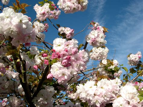 prunus flowering cherries