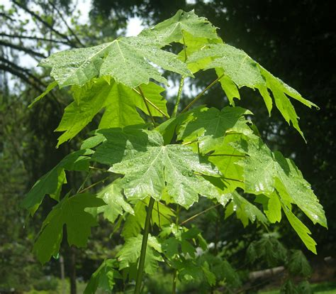 maple tree symbolism plants of the pacific northwest images best ferns