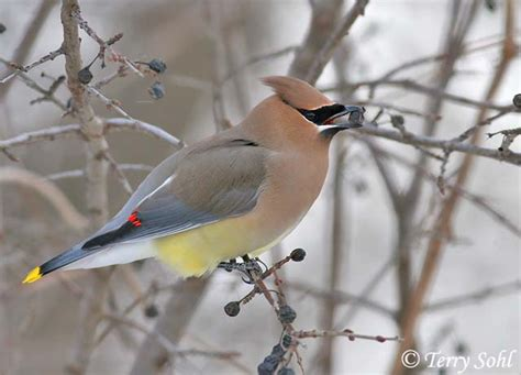 identification keys and tips cedar waxwing vs bohemian