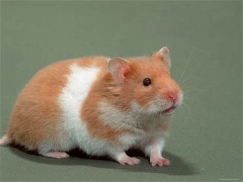 7 Tips On Taking Care Of Hamsters by My Pets How To Take Care Of A Hamster
