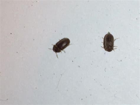 insetti volanti neri animaletti neri volano pestforum