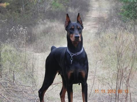 doberman puppy cropped ears 16 best doberman ear cropping images on dobermans doberman puppies and ears