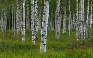 Birch tree grove picture